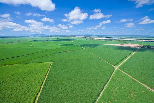 sugarcane3-sm-jpg